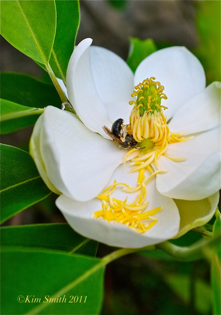 Magnolia virginiana Eastern Carpenter Bee Kim Smith 2011 copy