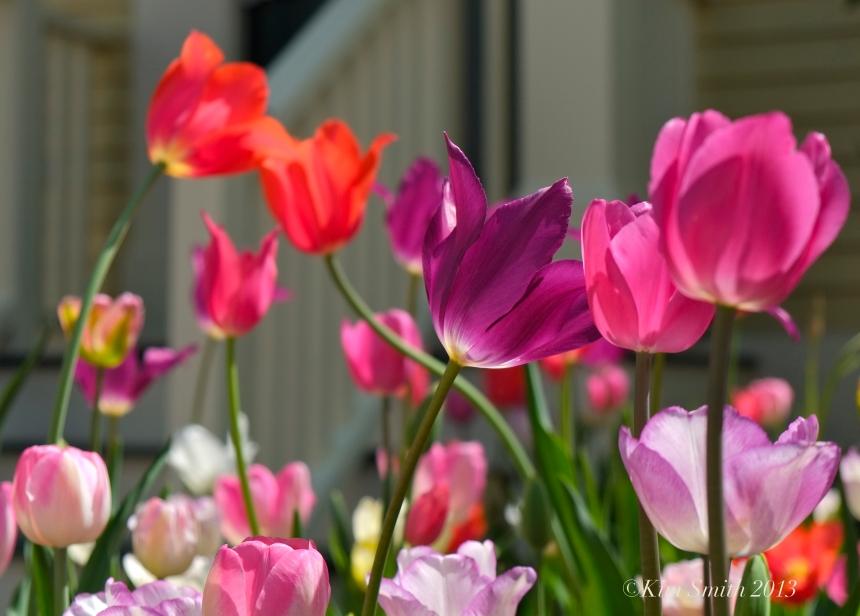 Mary Prentiss Inn spring tulips ©Kim smith 2013