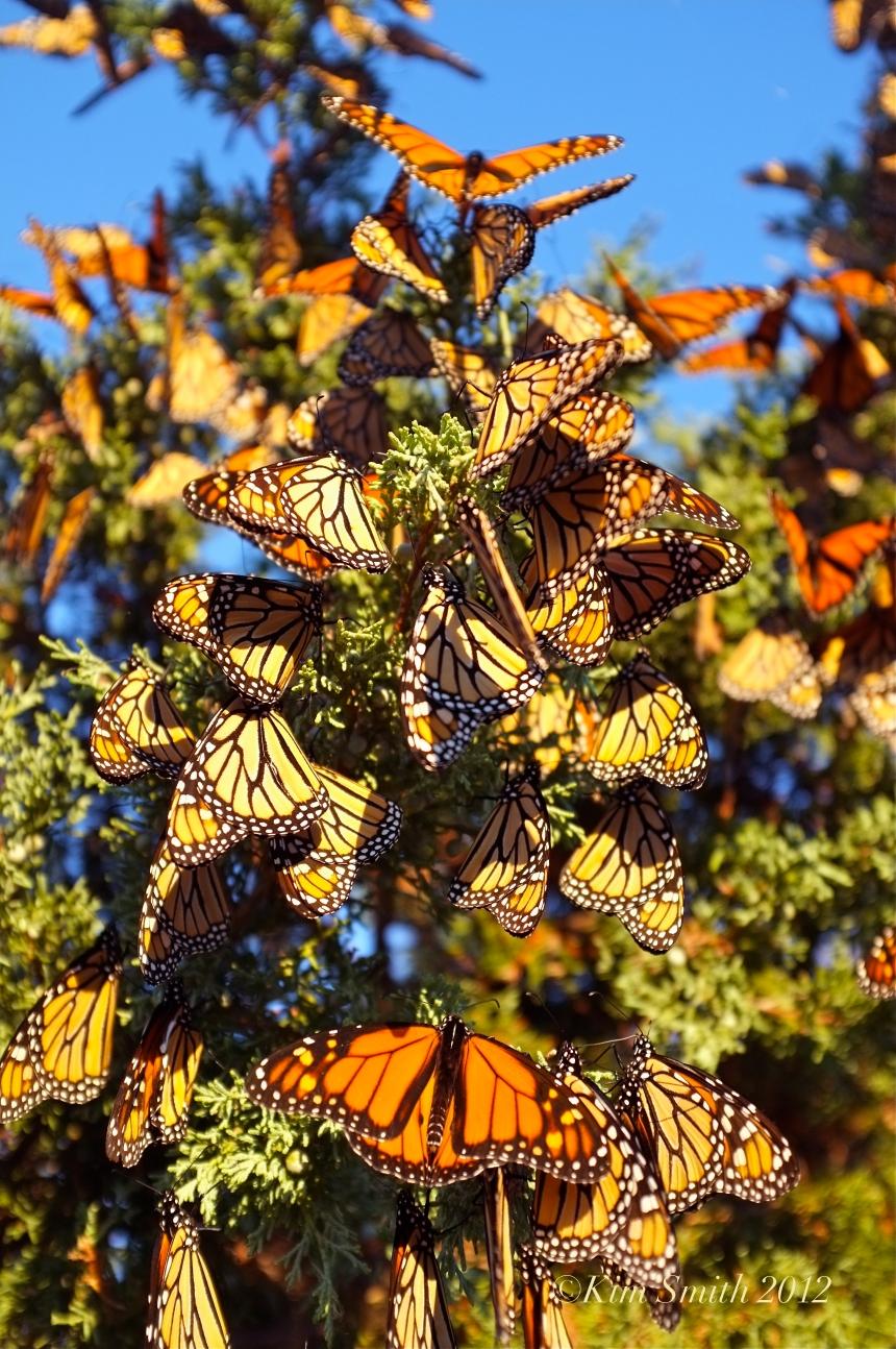 Monarch Butterfles Eastern Point Gloucester MA © Kim Smith 2012