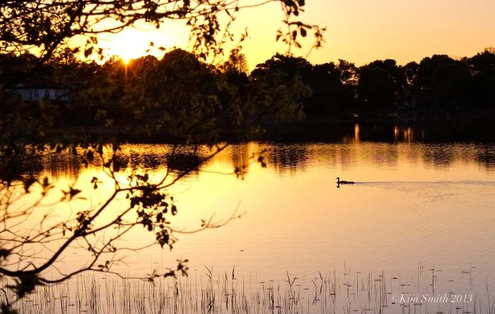 Niles Pond ducklings -2 ©Kim Smith 2013