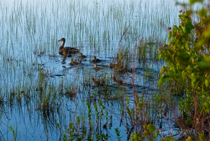 Niles Pond ducklings ©Kim Smith 2013