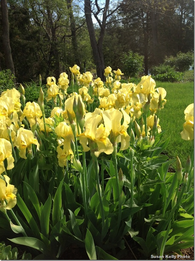 yellow spring irises