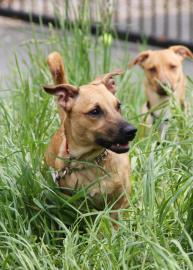 adopt, dog, aisha, pet of the week