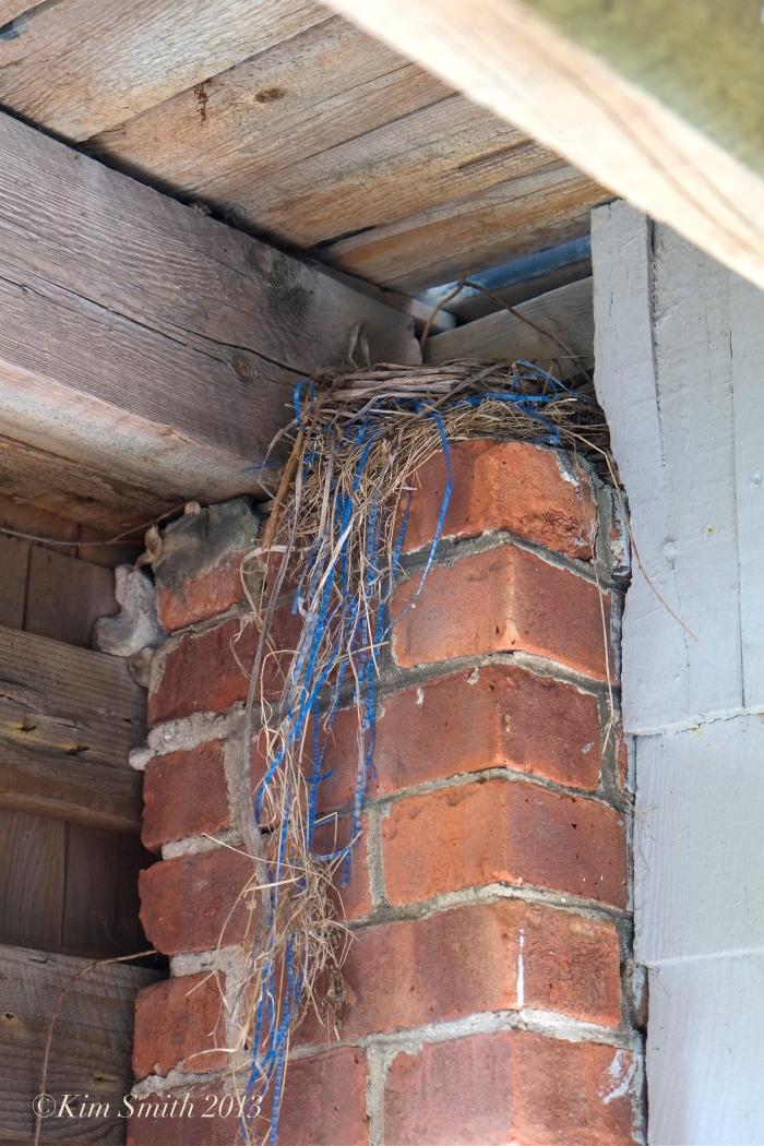 American Robin nest -1  ©Kim Smith 2013 copy