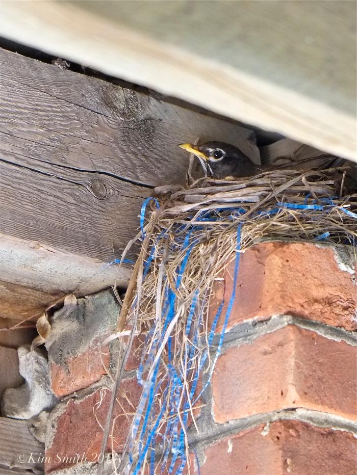 American Robin nest ©Kim Smith 2013