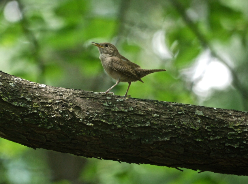 Ann Kennedy wren photo