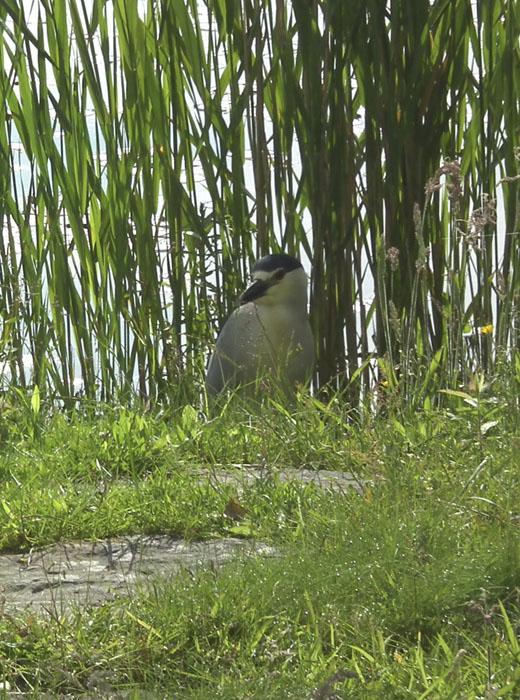 black crowned night heron at niles pond