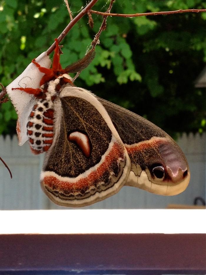 Cecropia moth Christine Morey photo