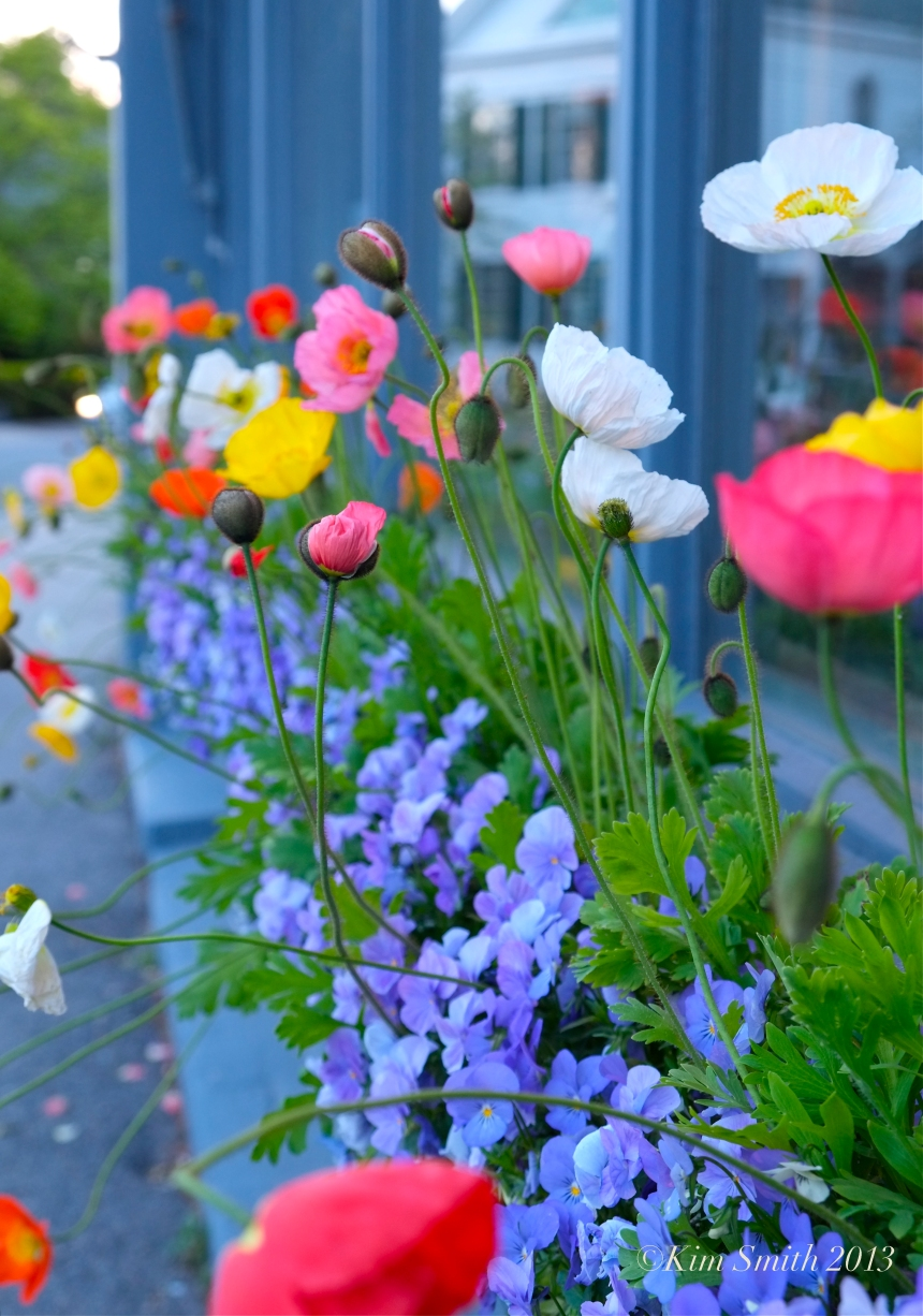 Iceland Poppies ©Kim Smith 2013