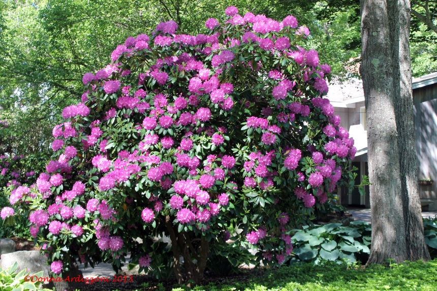 June 4, 2013 now that is a rhododendron
