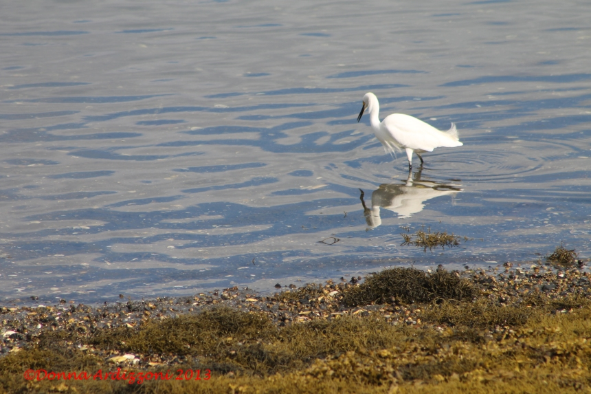 June 8, 2013 Snowy Egret at low tide on Rocky Neck