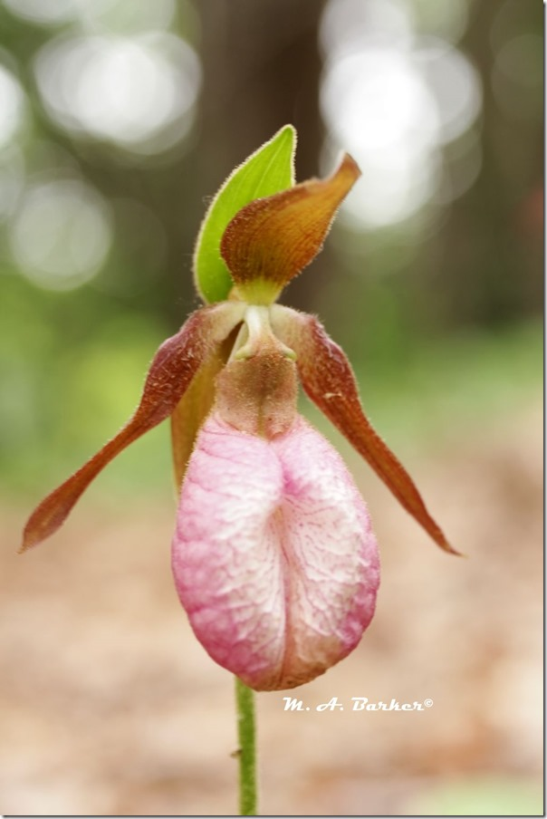 lady slipper 2