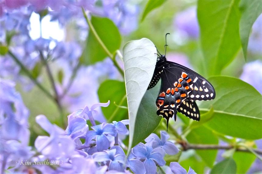 Newly emerged black swallowtail butterfly wedgewood blue lilac ©Kim Smith 2013