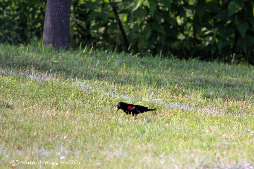 Red winged Black bird at Manolia Beach