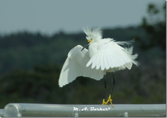 snowy egret male in full display