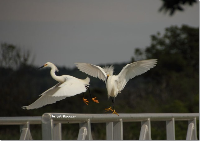 snowy egrets taking off