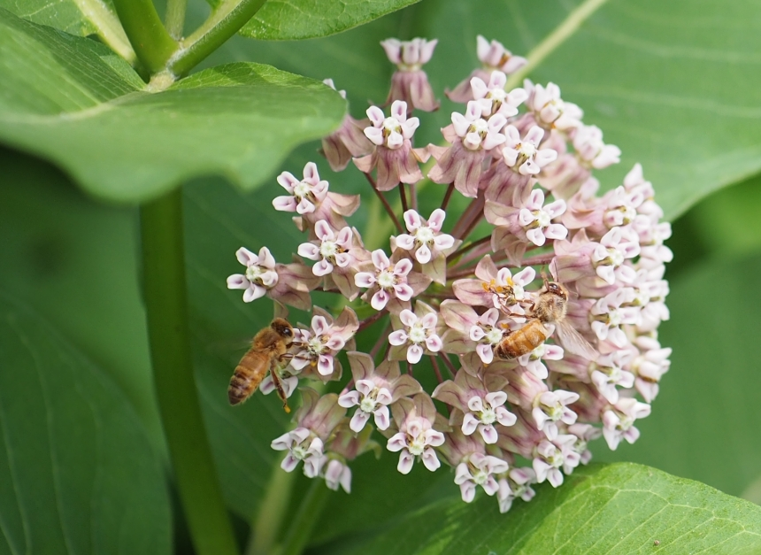 Al Bezanson photo milkweed
