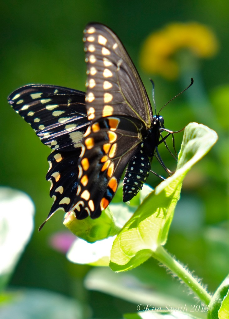 Black Swallowtail Butterfly Male ©Kim Smith 2013