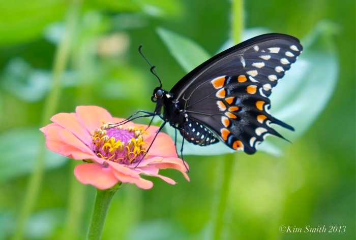 Black Swallowtail Butterfly Zinnia Male ©Kim Smith 2013.