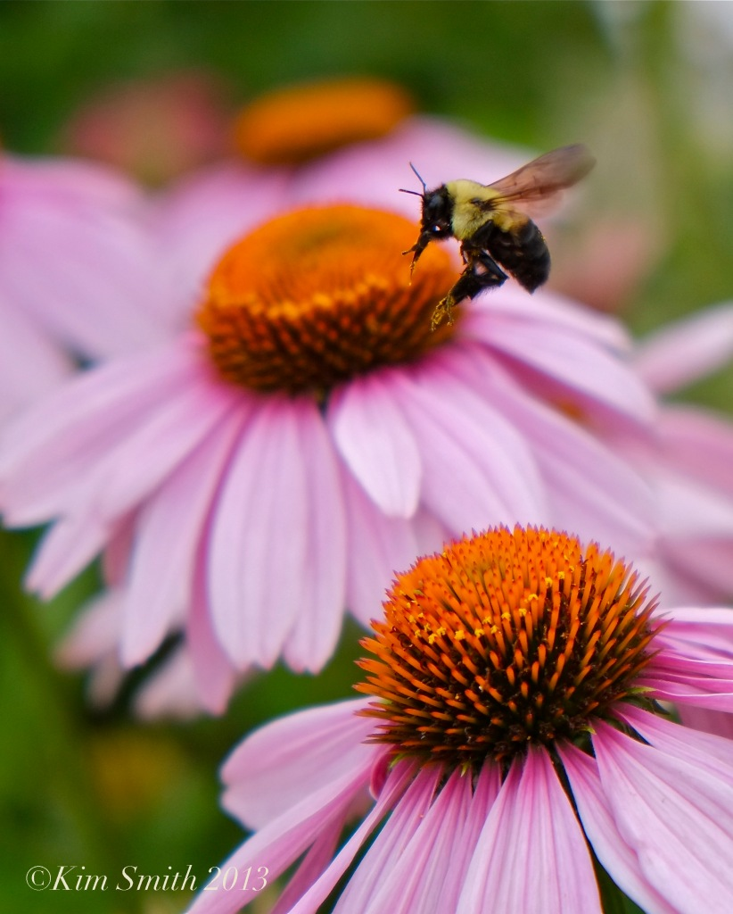 Coneflower and Bee -2 © Kim Smith 2013