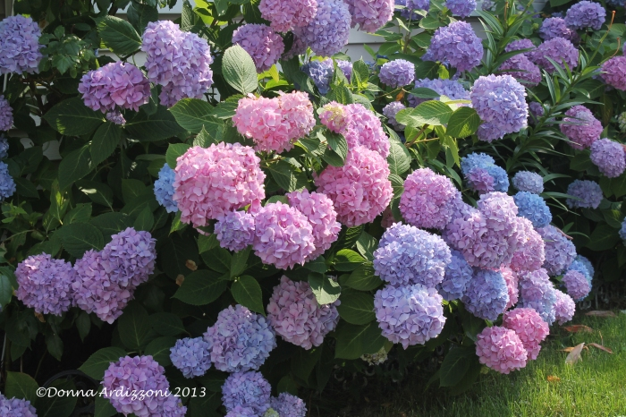 July 10, 2013 beautiful Hydrangeas
