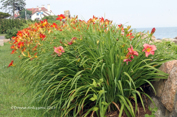 July 2, 2013 Tiger Lillies on Shore Road