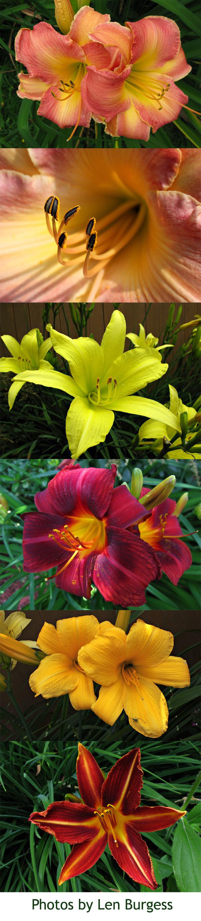 len burgess lilies
