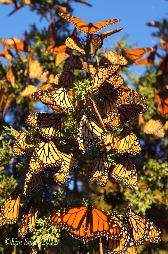 Monarch Awakening ç Kim Smith 2012