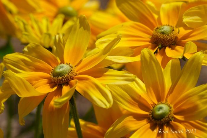 Annual Rudbeckia ©Kim Smith 2013