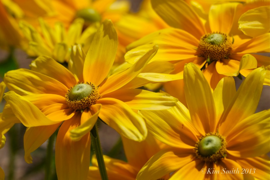 Annual Rudbeckia ©Kim Smith 2013