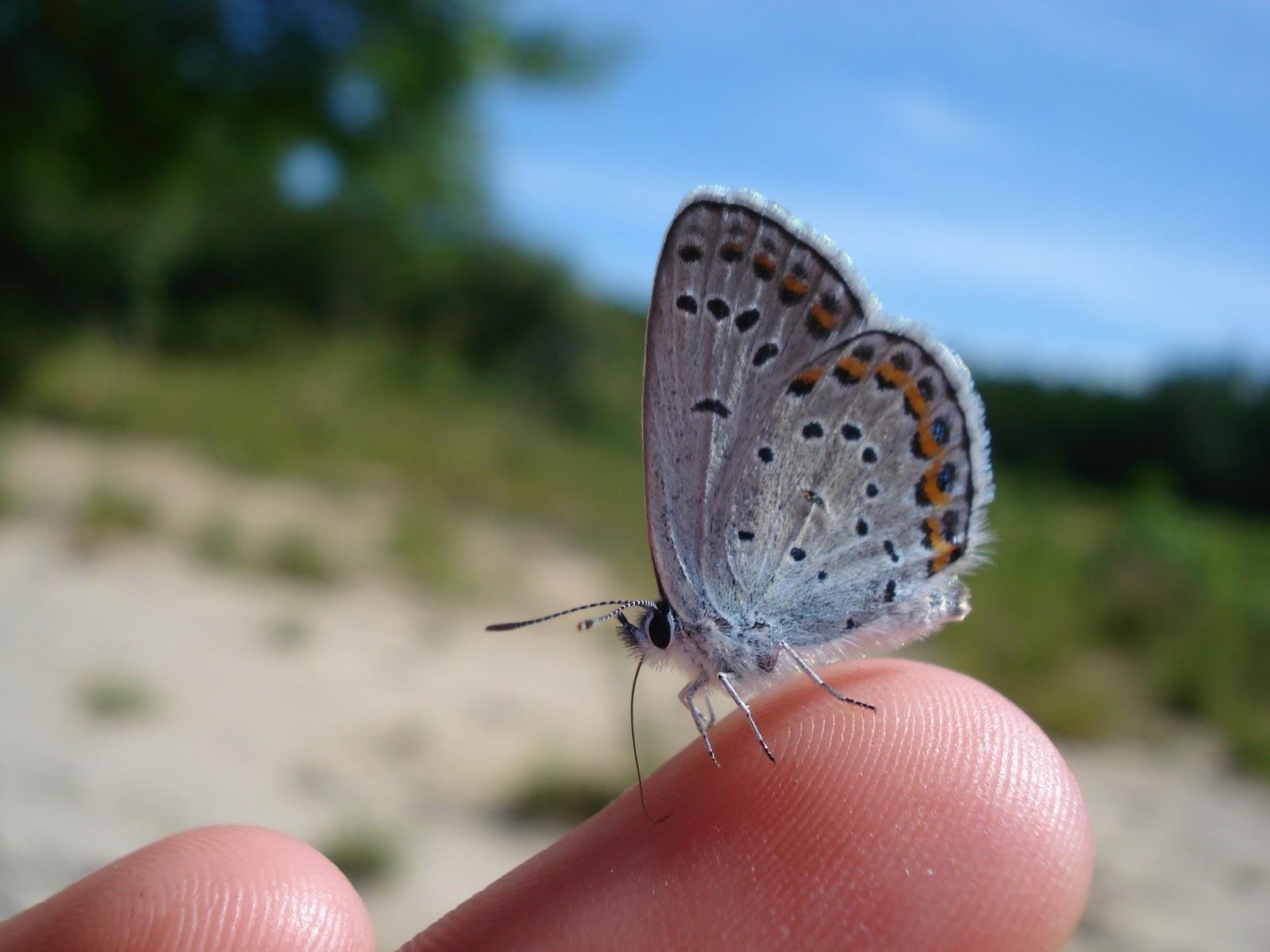 Karner Blue Butterfly Habitat The Rare Karner Blue B...