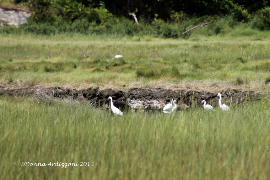 August 11, 2013 5 Little Egrets