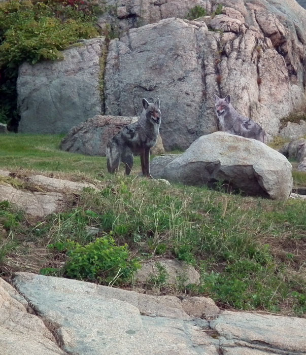 coyotes on rocky neck
