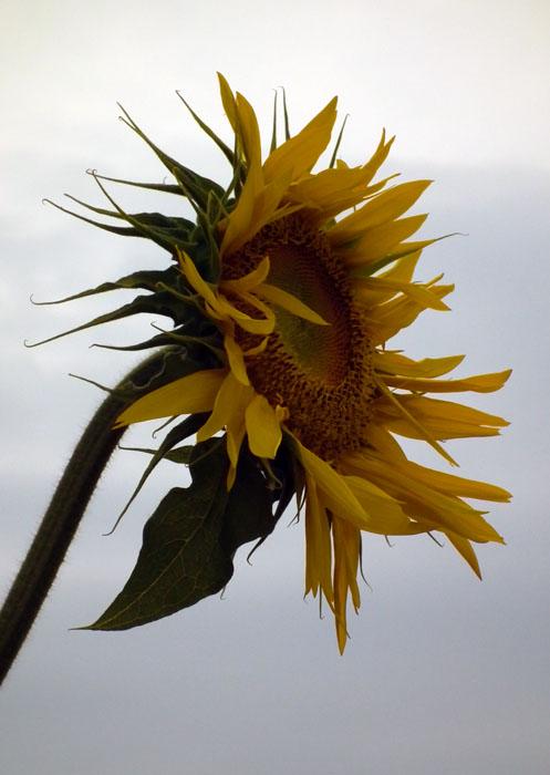sailor stans sunflower