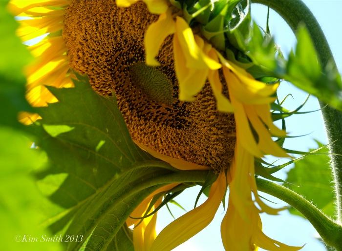 Sunflower ©Kim Smith 2013