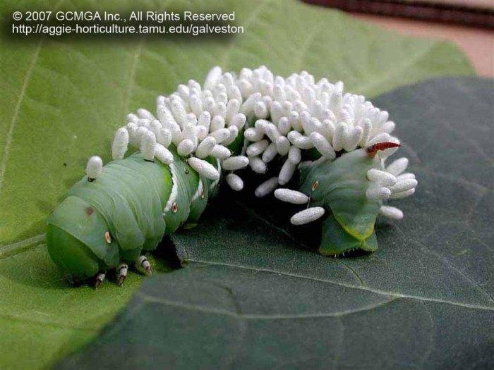 tomato hornworm white worm parasites