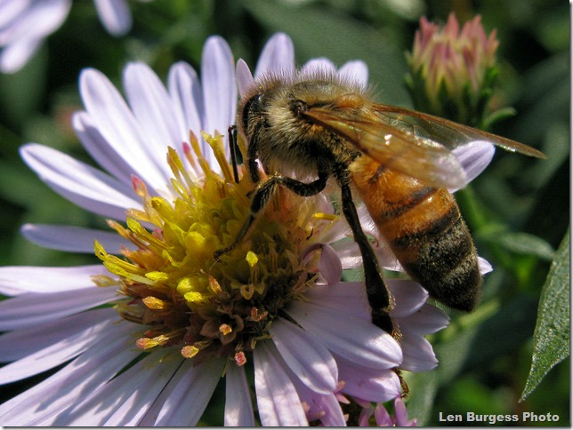 Asters&sBees9-17-13_0331