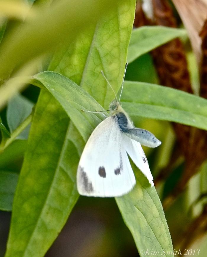Cabbage White Milkweed
