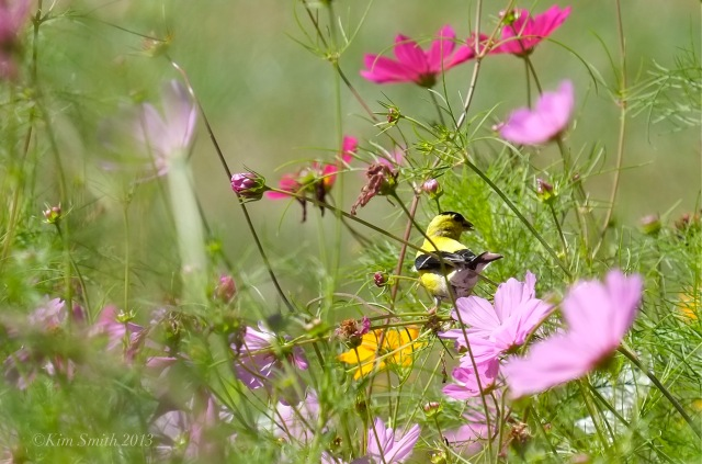 Male American Goldfinch and Cosmos ©Kim Smith 2013