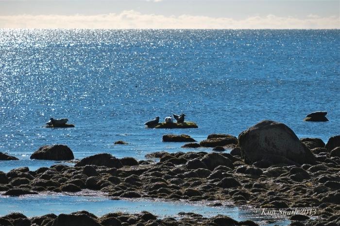 Harbor Seals Brace Cove Gloucester MA ©Kim Smith 2013