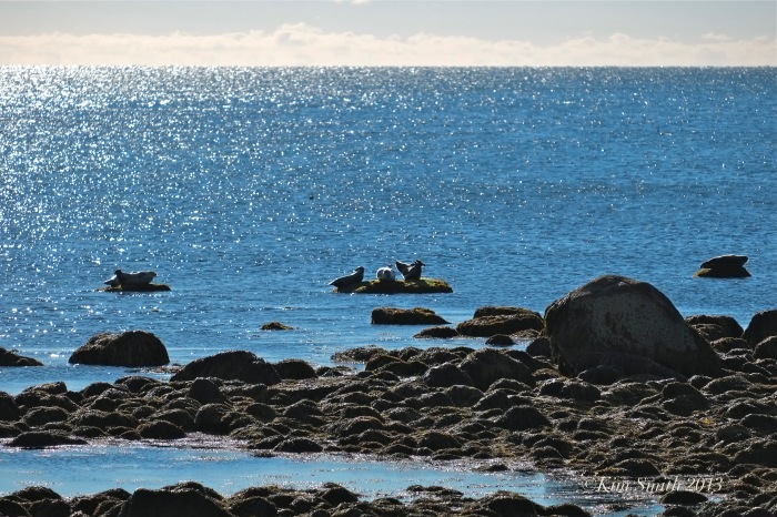 Harbor Seals Brace Cove Gloucester MA ©Kim Smith 2013