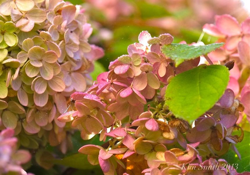 Hydrange paniculata grandiflora Pee gee Hydrangea ©KIM SMITH 2013