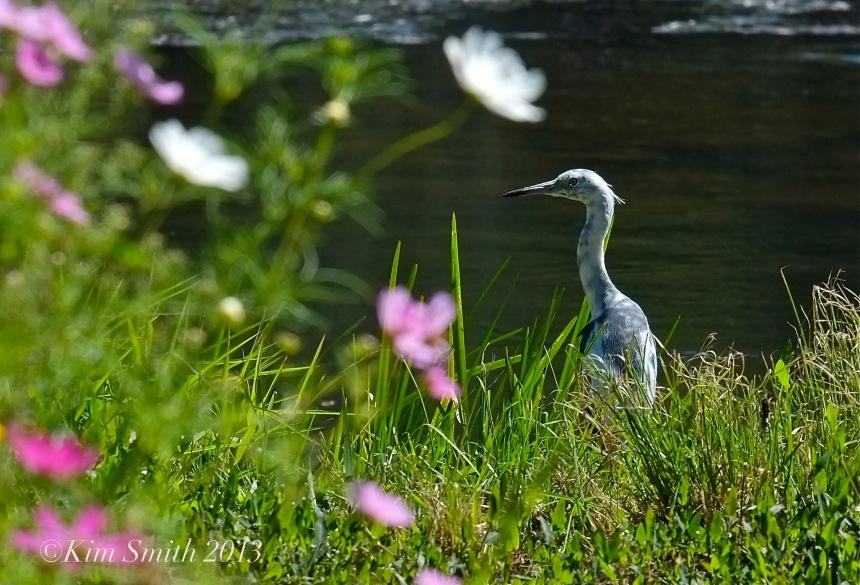 Juvenile Blue Heron & Cosmos Donovan ©Kim Smith 2013