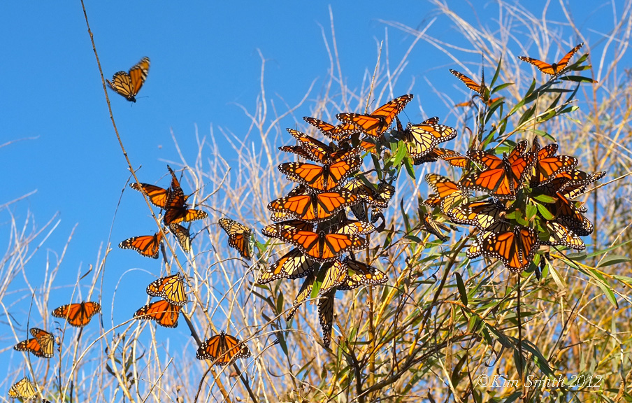 Monarch butterfly migration tree - photo#12
