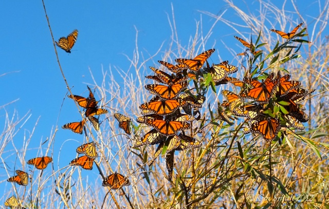 Monarch butterflies daybreak willow tree ©Kim Smith 2012