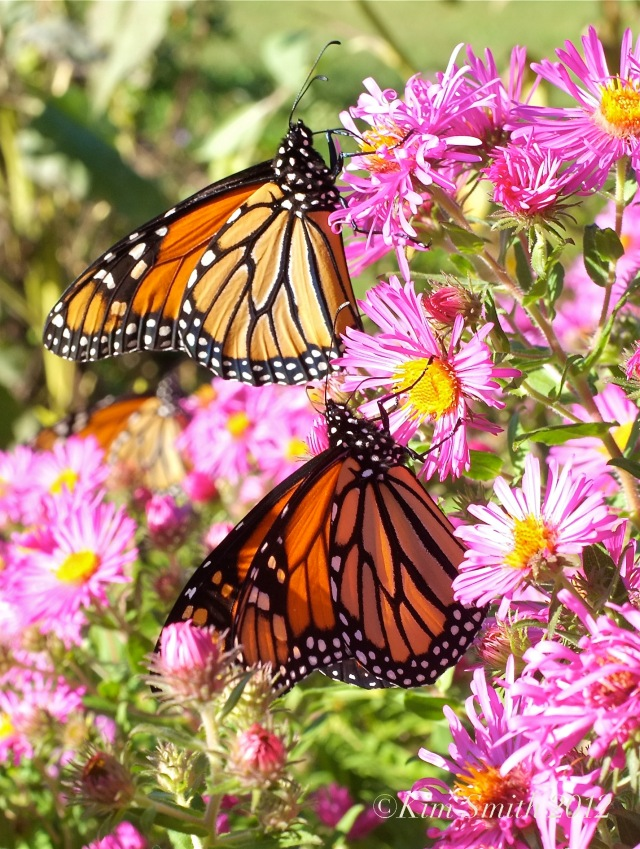 Monarch Butterflies New england Aster ©Kim Smith 2012