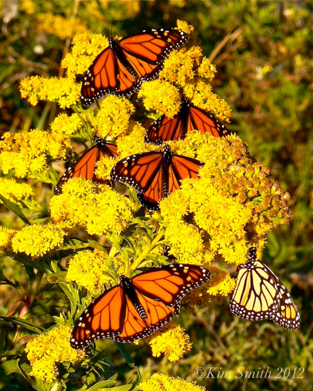 Monarch Butterfly Nectaring at Seaside Goldenrod ©Kim Smith 2011