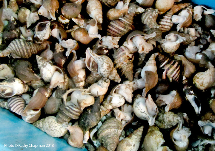 NorthernWhelk