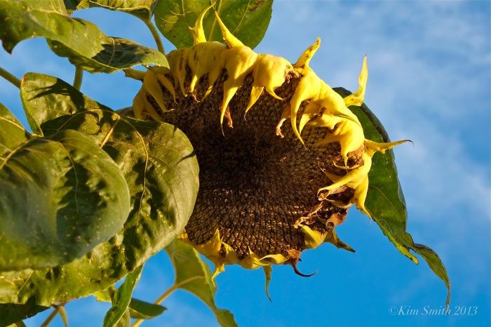 Sailor Stans Sunflower ©Kim Smith 2013