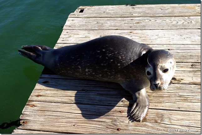 Seal_Pup